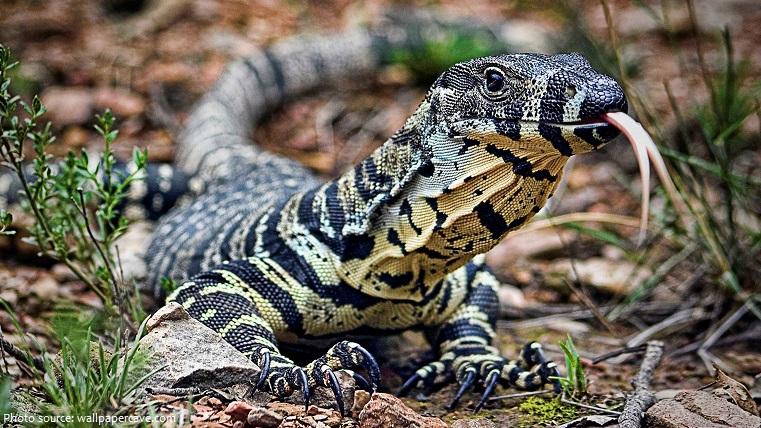 monitor-lizard-3