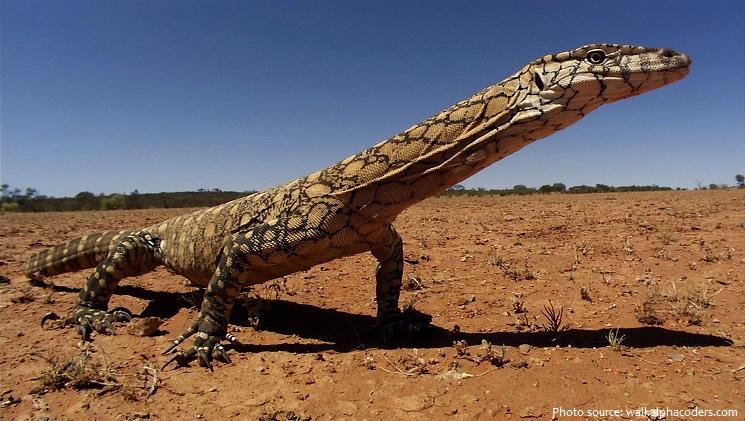 monitor-lizard-4