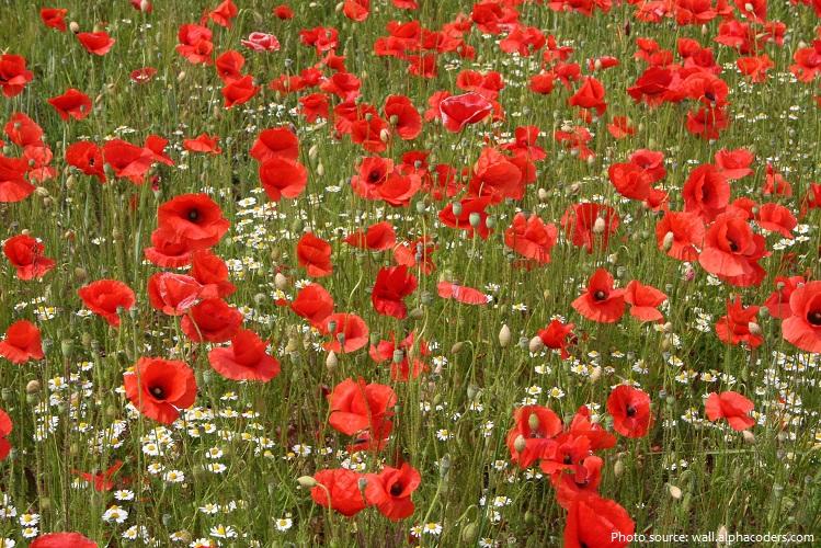 poppies-5