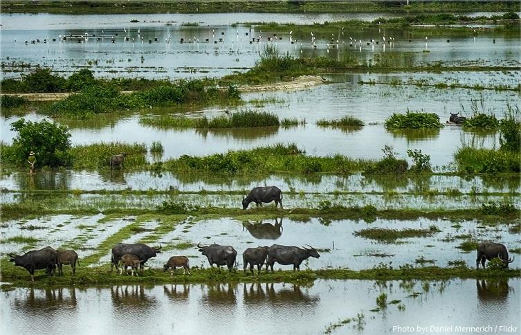 water-buffalos-3