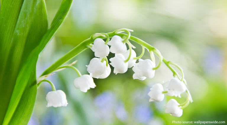 lily-of-the-valley-6