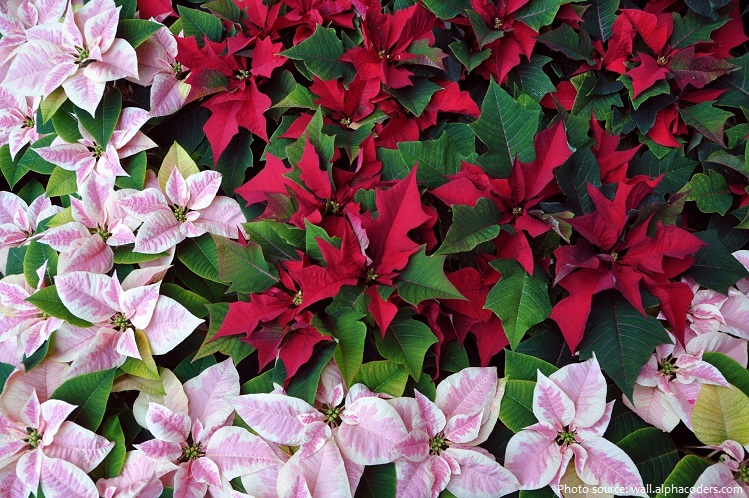 poinsettias-2