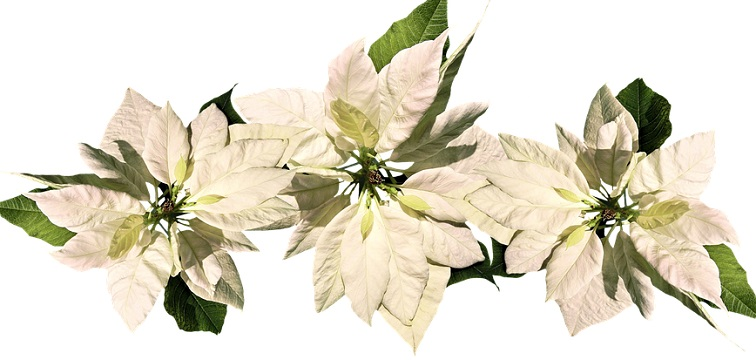 poinsettias white