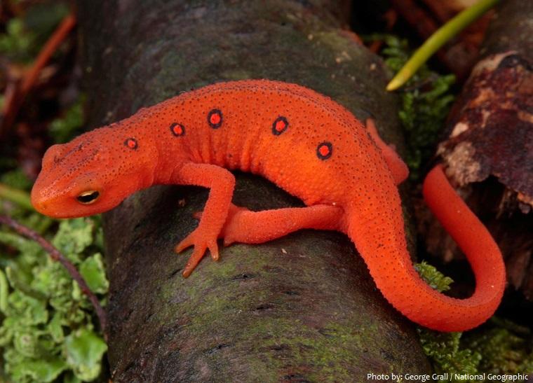 salamander-4