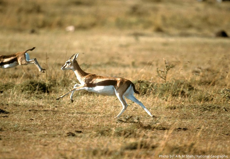 thomson's gazelle running