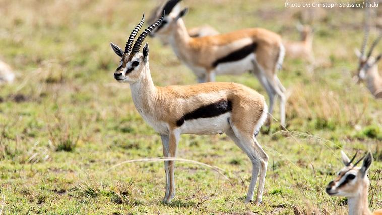 thomson's-gazelles-2