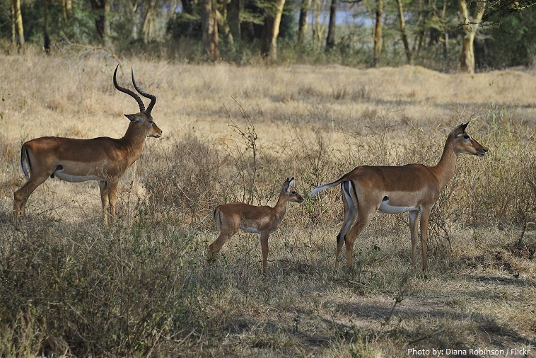 Thomson's gazelle family