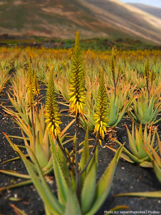 aloe vera plants flowers