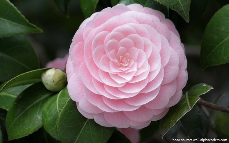camellia-3