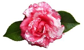 camellia-4