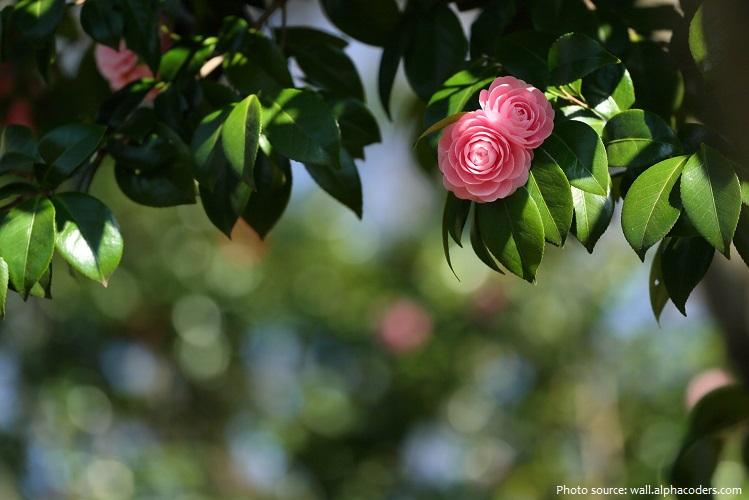 camellias-2