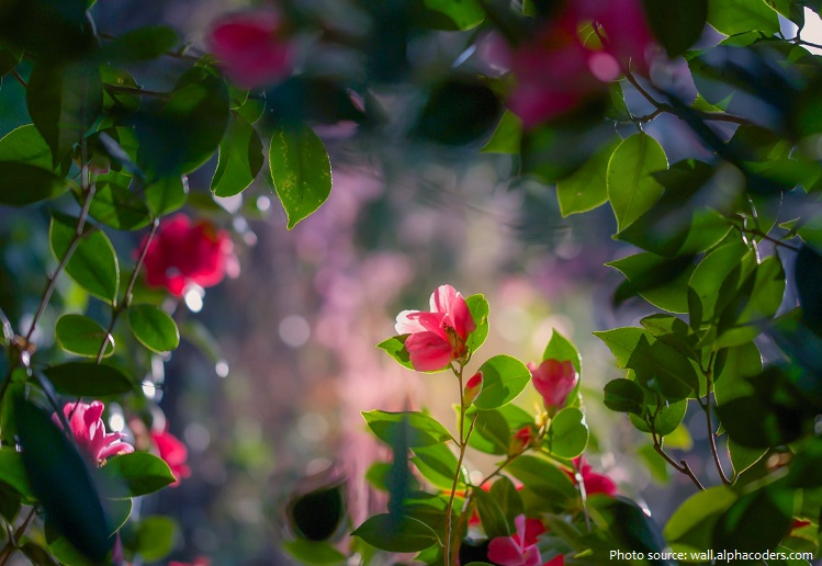 Interesting Facts About Camellias Just Fun Facts