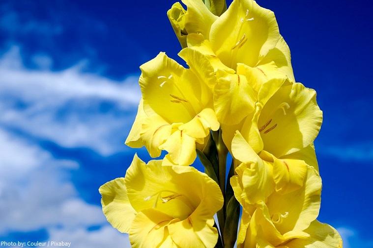 gladiolus-5