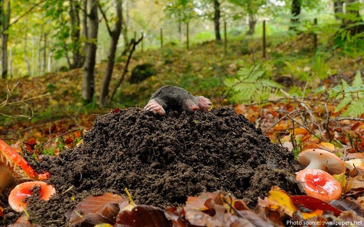 mole-4