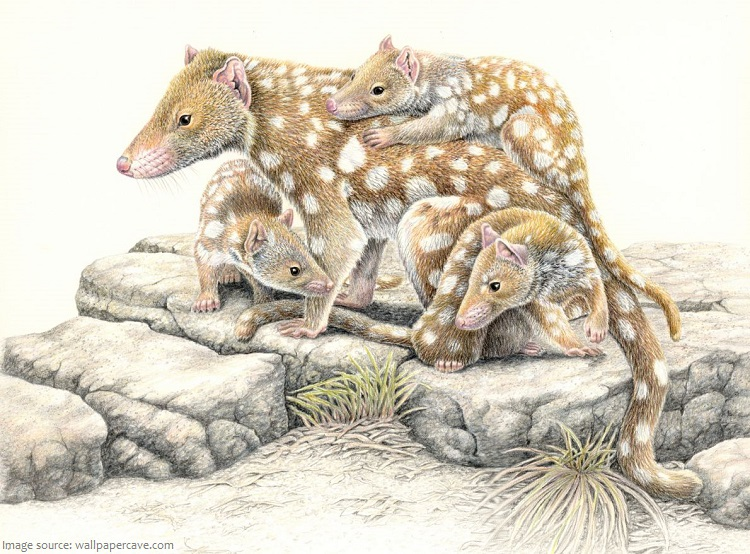 quoll-with-babies