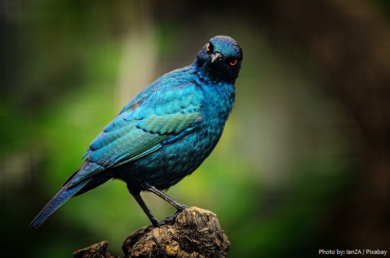 starling-2