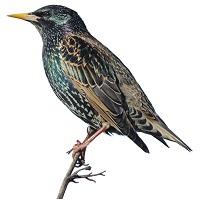 starling-4