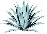 agave-5