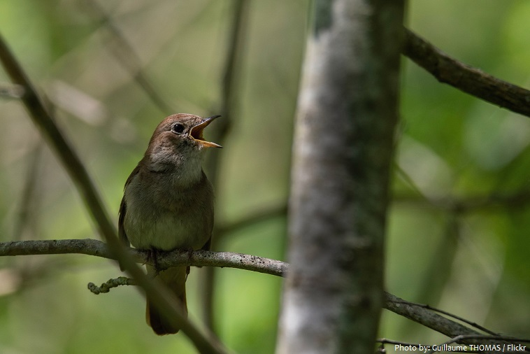 common-nightingale-singing-2