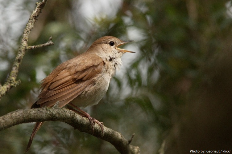 common nightingale singing