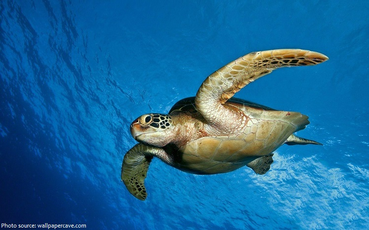 green-sea-turtle-2