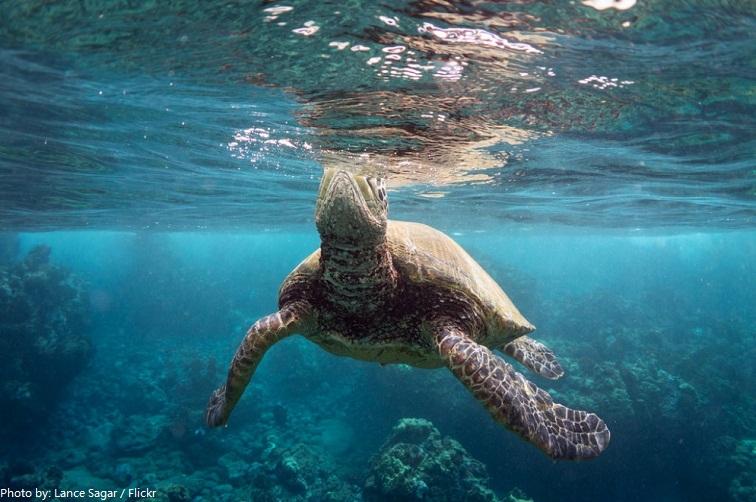green sea turtle take a breath