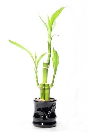 lucky-bamboo-3