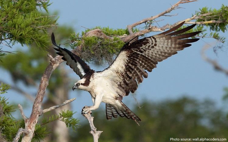 osprey-3