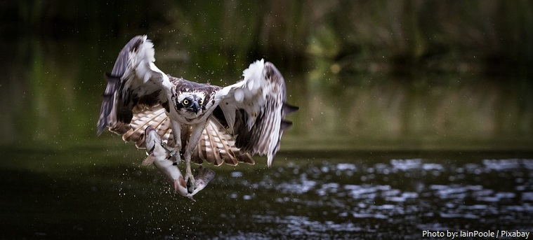 osprey-4