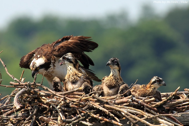 osprey youngs