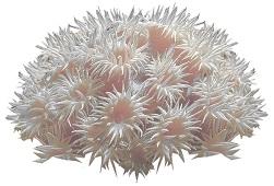 sea-anemones-4