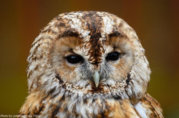 tawny-owl-2