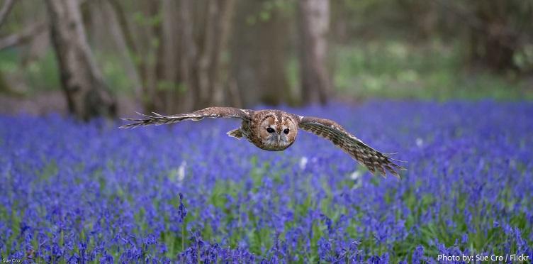tawny-owl-3