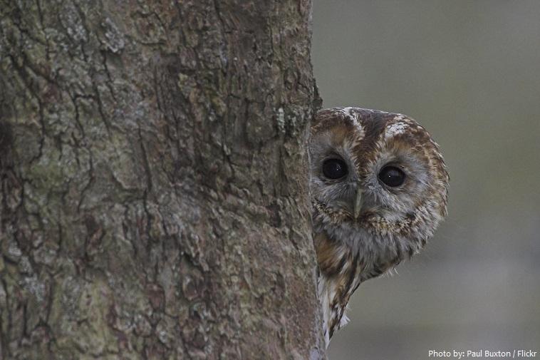 tawny-owl-5