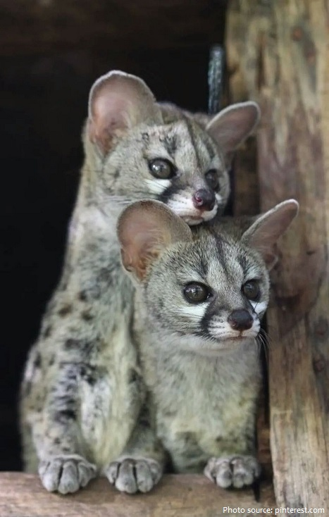 genet cubs