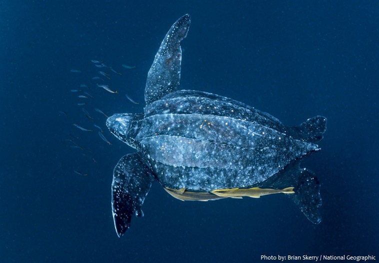 leatherback-sea-turtle-4