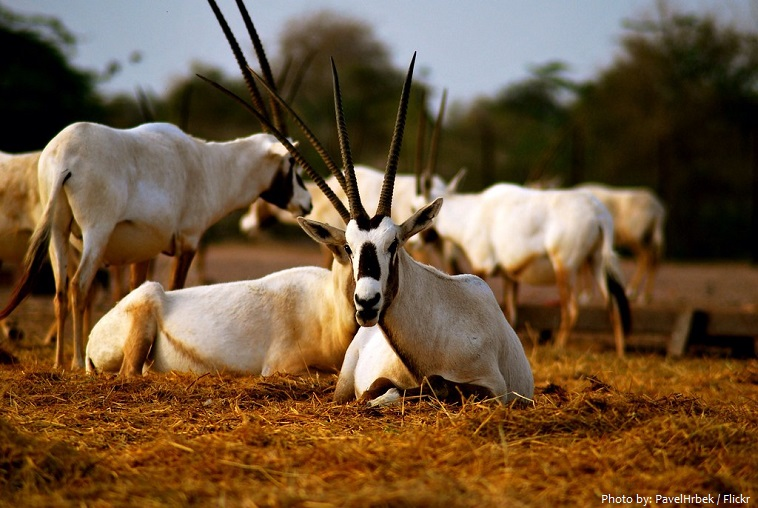arabian-oryx-4