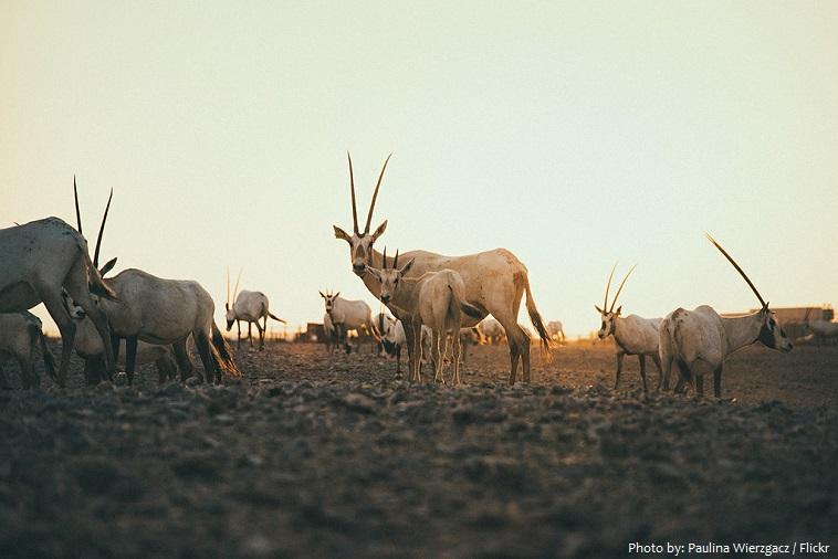 arabian-oryx-5