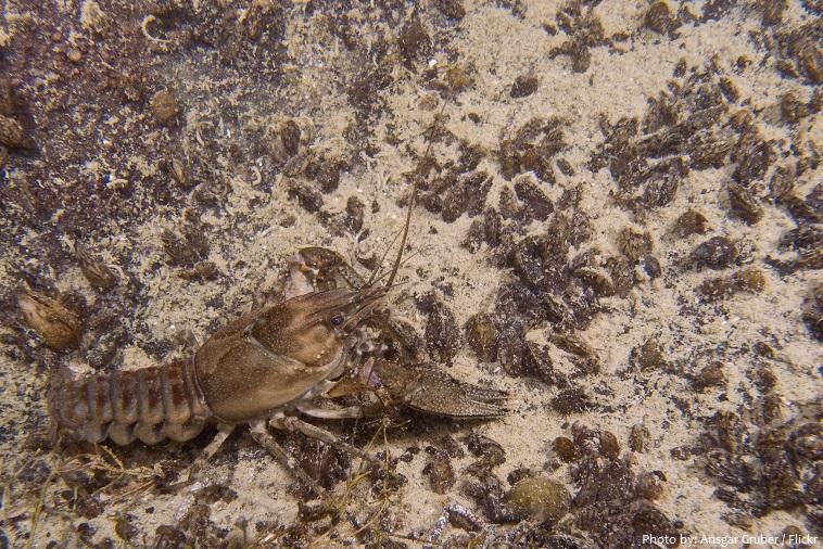 crayfish-5