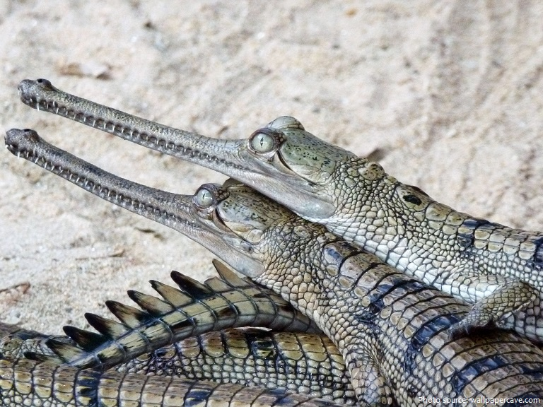 gharial youngs