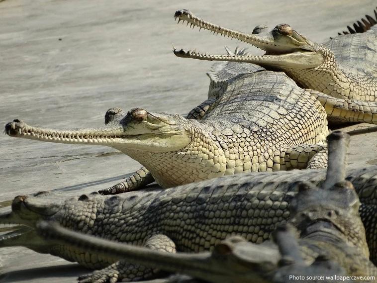 gharials-2