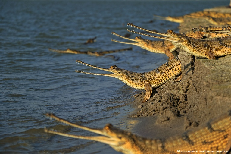 gharials-3