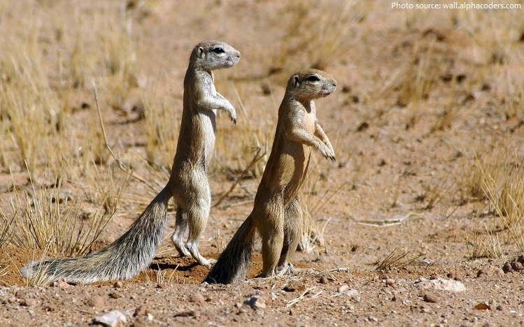 ground-squirrels-2