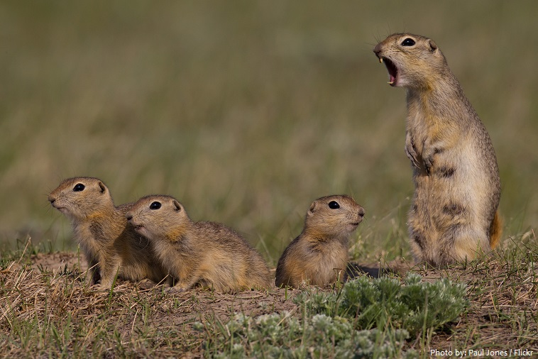 ground-squirrels-4