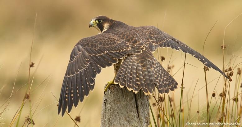 peregrine-falcon-4