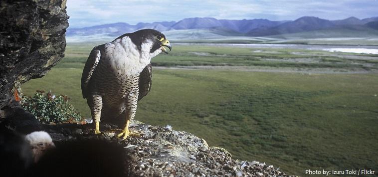 peregrine-falcon-5