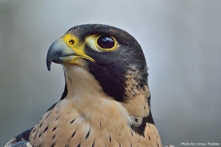 peregrine-falcon-6