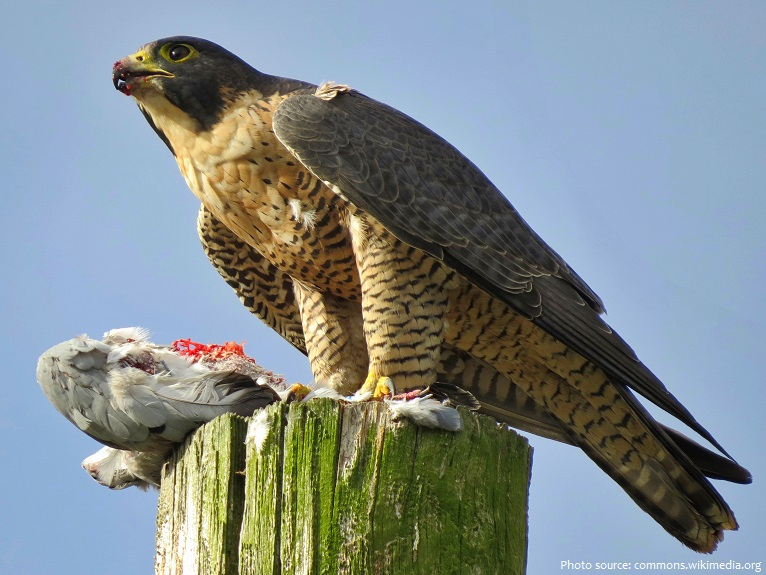 peregrine falcon eating