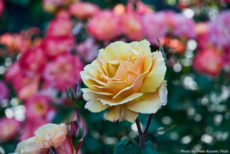 rose test garden portland