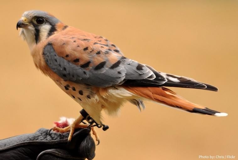 american kestrel falconry